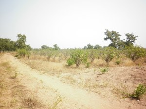 Jatropha Plantation Kparigu