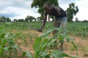 Farming Maize